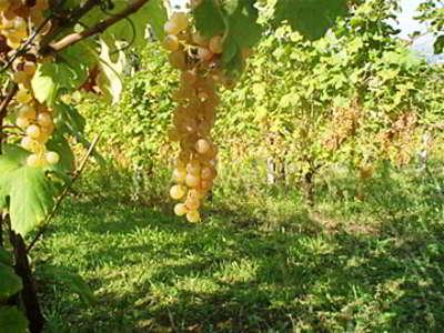 vino albana