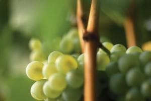 grappolo Sauvignon - alto adige